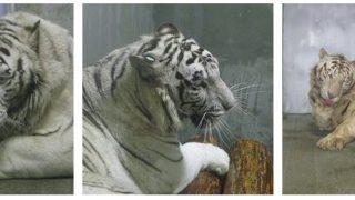 【鹿児島】ホワイトタイガーに襲われ飼育員死亡、パンク町田氏く成獣で人間を怖がらない